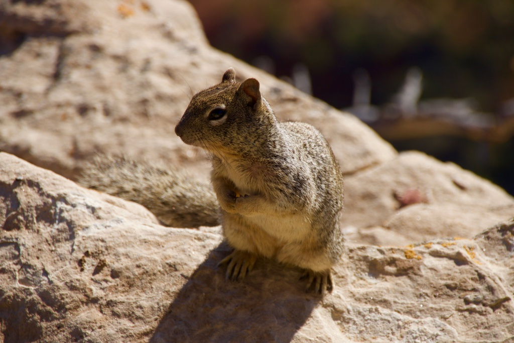 Grand Canyon Animal
