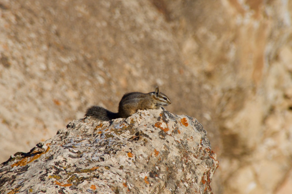Grand Canyon Chipmunk